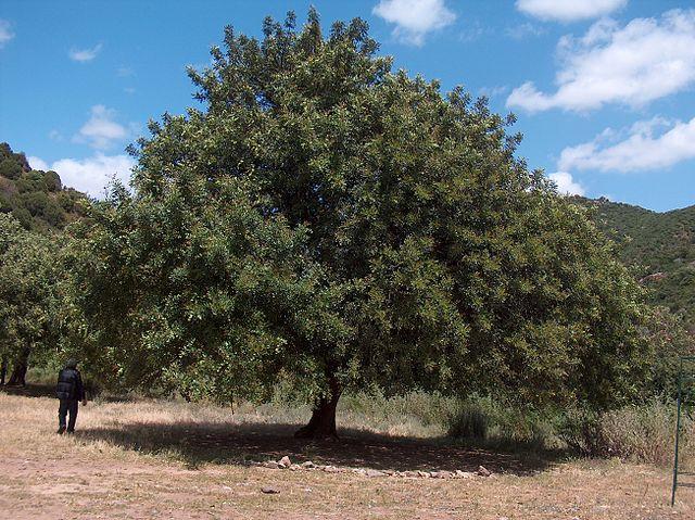 alfarrobeira-árvore